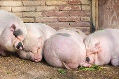 Varkens het slapen Stock Afbeeldingen
