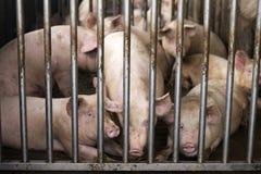 Varkens in landbouwbedrijf Stock Afbeelding