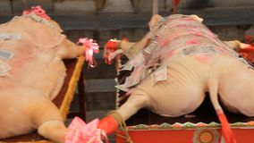 Varkens om goden in Aziatisch festival te aanbidden stock videobeelden
