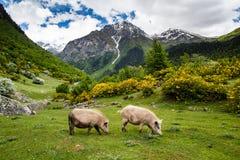 Varkens op bergweiland stock fotografie