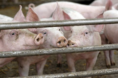 Varkens op een ecolandbouwbedrijf Stock Afbeelding