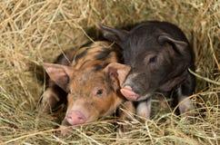 Varkens op een landbouwbedrijf Stock Foto's