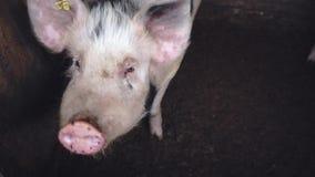 Varkens op een landbouwbedrijf stock video