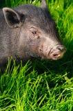 Varkens op gras Stock Foto's