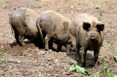 Varkens op het landbouwbedrijf Stock Fotografie