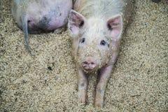 Varkens op het landbouwbedrijf Gelukkige varkens op varkensfokkerij stock foto