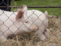 Varkens in pen Stock Afbeeldingen
