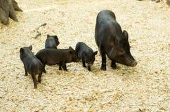 Varkens voor een gang Varken en varkens Royalty-vrije Stock Afbeeldingen
