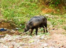 Varkens zwerven vrij in de stad van Bangalore India stock afbeelding