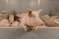 Varkensbeelden Stock Foto's