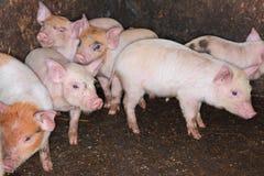 Varkensbiggetjes in pen Stock Afbeeldingen