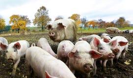Varkensfamilie Royalty-vrije Stock Foto's