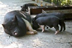 Varkensfamilie Royalty-vrije Stock Fotografie