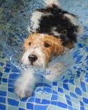 Varkenshaarfox-terrier stock foto