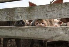 Varkensneuzen achter een omheining Royalty-vrije Stock Foto's