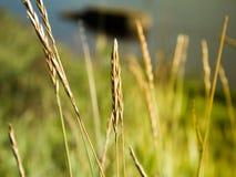 Varm guld- kulör makro av grässpikeleten Royaltyfri Foto