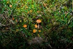 Varm höst för liten champinjongiftsvamp Arkivbilder