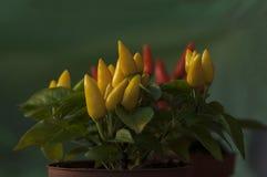 varm peppar för chili Royaltyfria Bilder