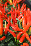 varm pepparred för chili Fotografering för Bildbyråer