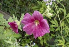 Varm rosa stockros i hem- trädgård arkivfoton