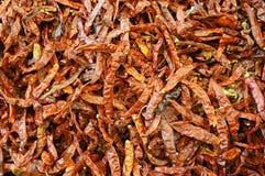 Varma chilies Arkivbilder