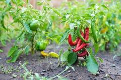 Varma peppar för röd chili i trädgården royaltyfri fotografi