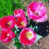 Varma rosa färger Tulip Flowers Arkivfoton