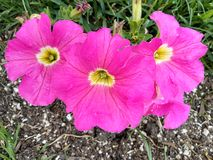 Varma rosa tvååriga för trädgård för stuga för blommor för familj för malva för stockrors årliga eller perenna Alceavà arkivbilder