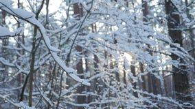 Varmt vintersolsken som shinning till och med trädfilialer som täckas med den vita snöfilten stock video