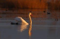 varmt wild för härlig swan för cygnuslampasolnedgång royaltyfri fotografi