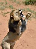 Varón del león, Namibia Foto de archivo libre de regalías