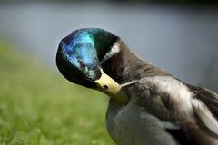 Varón del pato Imagen de archivo libre de regalías