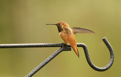 Varón rufo del colibrí Fotografía de archivo