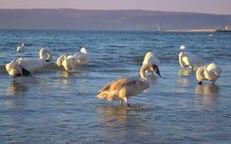 Varna bay swans Royalty Free Stock Photo