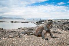 Varning Galapagos för marin- leguan på stranden Arkivbild