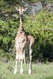 Varningen behandla som ett barn giraffet Arkivbilder