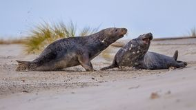 Varones grises del sello que luchan en la playa Foto de archivo libre de regalías
