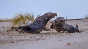 Varones grises del sello que luchan en la playa Fotos de archivo