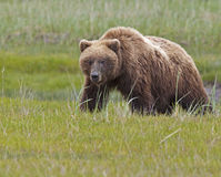 Varrão do Alasca do urso marrom fotografia de stock