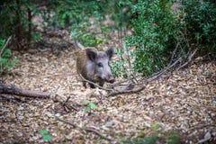 Varrão na floresta Fotos de Stock Royalty Free