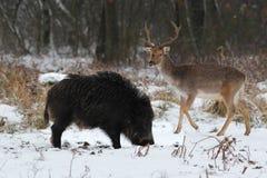 Varrão selvagem com um fanfarrão do fallow Fotografia de Stock