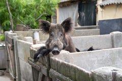 Varrão selvagem domesticado Foto de Stock