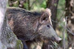 Varrão selvagem ou porco selvagem (scrofa do Sus) fotos de stock royalty free
