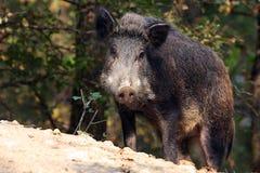 Varrão selvagem ou porco selvagem (scrofa do Sus) imagem de stock