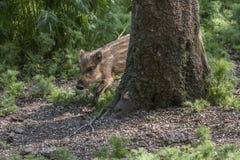 Varrão selvagem (scrofa do Sus) Fotografia de Stock