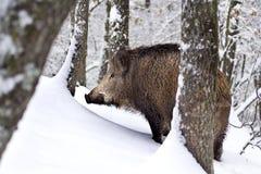 Varrão selvagem (scrofa do Sus) na neve. fotos de stock
