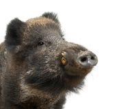 Varrão selvagem, também porco selvagem, scrofa do Sus Imagens de Stock