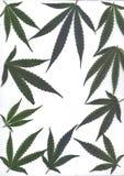 Varredura das folhas frescas de quadros e de bandeiras do marijuanafor Imagem de Stock