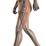 Varredura humana da radiografia Imagens de Stock Royalty Free