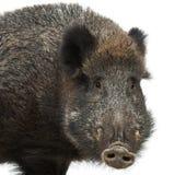 Varrão selvagem, também porco selvagem, scrofa do Sus Fotos de Stock